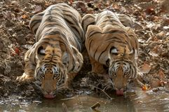 两只幼小在Tadoba Andhari老虎储备,钱德拉普尔,马哈拉施特拉,印度的老虎饮用水 图库摄影