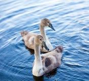 两只幼小天鹅 免版税图库摄影