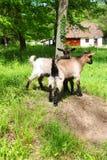 两只幼小家养的白色山羊 免版税库存照片
