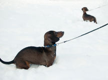 两只幼小小达克斯猎犬 免版税图库摄影