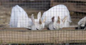 两只幼小山羊吃在农场的干草 股票视频