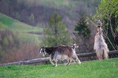 两只幼小山羊在山草甸吃草 图库摄影