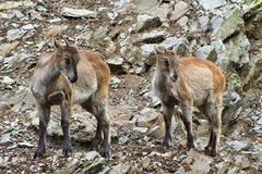 两只幼小山羊 库存图片