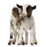 两只幼小本国山羊,孩子,被隔绝 免版税库存照片