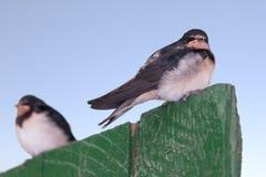 两只幼小燕子 免版税库存图片