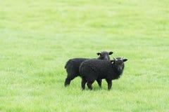两只幼小绵羊在牧场地在冰岛 库存图片