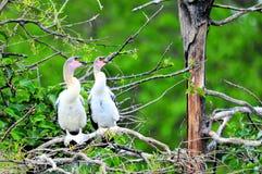 两只幼小美洲蛇鸟鸟在沼泽地 免版税库存照片