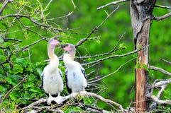 两只幼小美洲蛇鸟鸟在沼泽地 库存照片
