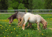 两只幼小舍特兰群岛小马在小牧场 免版税库存照片