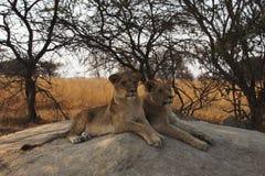 两只幼小雌狮在岩石和观看说谎 库存照片