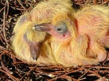 两只幼小鸽子鸟 库存照片