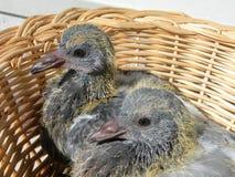 两只幼小鸽子鸟 库存图片