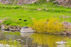 两只幼小黑孟加拉山羊 库存照片