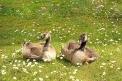 两只幼鹅在夏天阳光下 免版税库存照片