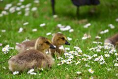 两只幼鹅在英国雏菊花床上停留 库存照片