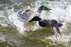 两只德雷克野鸭鸭子残暴的争斗在湖的 免版税图库摄影