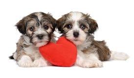 两只恋人华伦泰Havanese小狗 库存照片
