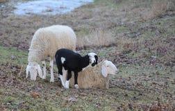 两只成人绵羊和新出生的羊羔 免版税库存图片