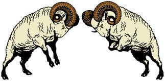 两只战斗的公羊 库存图片