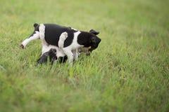 两只战斗的小狗 库存图片