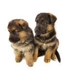 两只护羊狗小狗 免版税库存图片