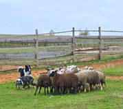两只护羊狗工作 库存图片