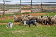 两只护羊狗工作 免版税库存照片