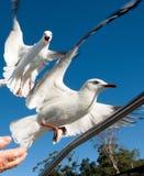两只拌嘴的澳大利亚海鸥,银色鸥,在充分的飞行 图库摄影