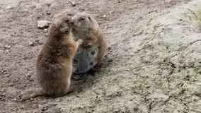 两只拥抱的草原土拨鼠 免版税图库摄影