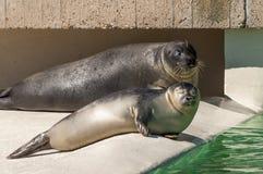 两只斑海豹 图库摄影