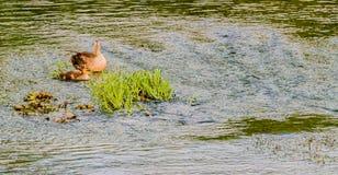 两只斑点开帐单的鸭子在河 免版税库存照片
