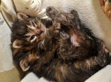 两只新出生的小猫说谎 库存图片