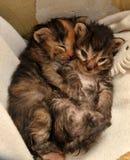 两只新出生的小猫说谎 免版税库存图片