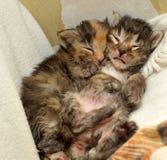 两只新出生的小猫说谎 库存照片