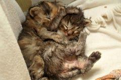 两只新出生的小猫说谎 免版税库存照片