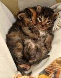 两只新出生的小猫说谎 免版税图库摄影