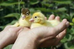 两只新出生的鸭子在人农夫的手上 免版税图库摄影