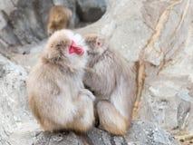 两只日本短尾猿 库存图片