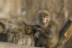 两只日本短尾猿 免版税库存照片