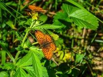 两只明亮的橙色蝴蝶在草的一点使有大理石花纹的贝母 图库摄影
