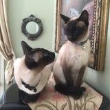 两只暹罗猫 免版税库存照片
