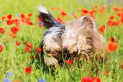 两只有胡子的大牧羊犬在鸦片草甸 免版税库存图片
