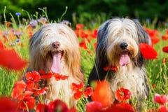两只有胡子的大牧羊犬画象在鸦片领域的 库存照片