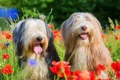 两只有胡子的大牧羊犬画象在鸦片领域的 免版税库存图片