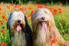 两只有胡子的大牧羊犬画象在鸦片领域的 免版税图库摄影