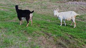 两只本国山羊吃在草甸的绿草,抬他们的头和看  衣领在他们的脖子上 E 股票录像
