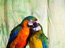 两只杂种金刚鹦鹉亲吻 免版税库存照片