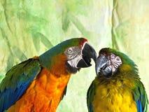 两只杂种金刚鹦鹉 库存图片