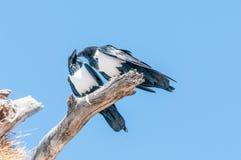 两只染色乌鸦,乌鸦座albus,在死的树枝,互动 图库摄影