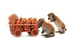两只棕色兔子 库存图片